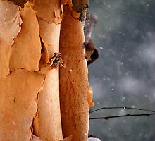River Birch on a Snowy Day. by Catherine Sherman