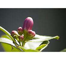 Lemon Buds Photographic Print