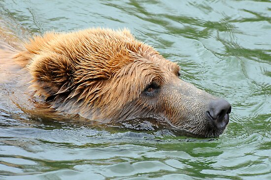 Grizzly Glare by Bonnie T.  Barry