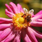 Bee on Anenome x hybrid by Julie Sherlock