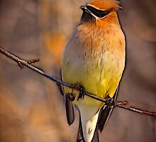 Cedar Waxwing in Batik by laxwings