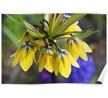 Crown imperial flower (yellow, blue, orange) Poster