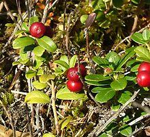 Lingonberries by tanmari