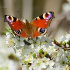 """"""" Blossoming Beauty """" by Richard Couchman"""