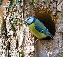 Emerging Blue Tit by jboffinphoto
