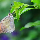 butterfly pending by Manon Boily