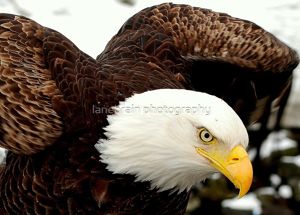 American Bald Eagle by lanebrain photography