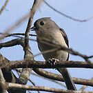Titmouse by Lolabud
