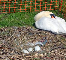 Protection for Swan and her eggs....... by lynn carter