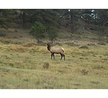 Bull Elk at Rocky Mountain National Park 01 Photographic Print