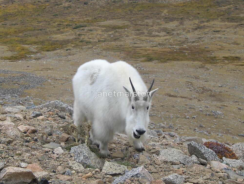 Summit Lake Neighborhood Watch Program - Mt Evans Rocky Mountain Goat by janetmarston
