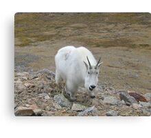 Summit Lake Neighborhood Watch Program - Mt Evans Rocky Mountain Goat Canvas Print