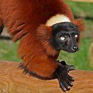 Red Ruffed Lemur by Robert Abraham