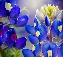 Bluebonnets by Colin Bester
