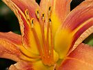Orange Day-lily. by William Brennan