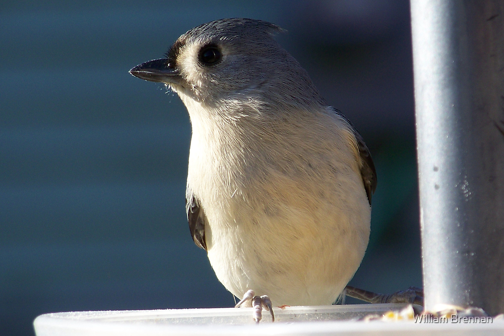 Tufted Titmouse. by William Brennan