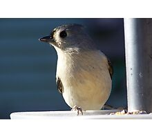 Tufted Titmouse. Photographic Print