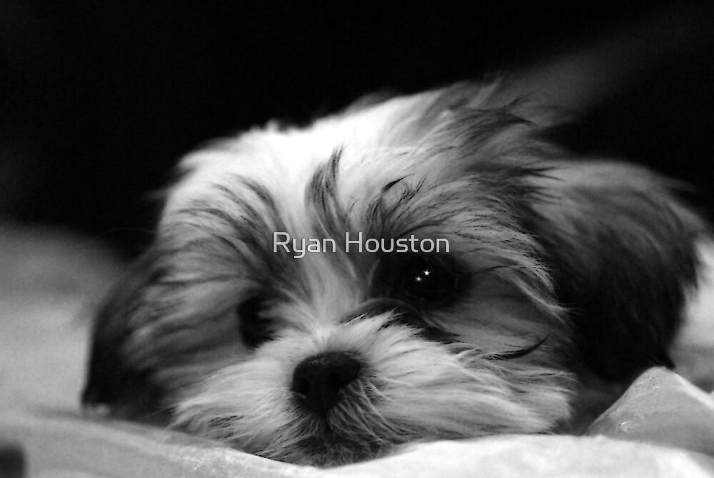 Shitzu/Maltese Mix Puppy by Ryan Houston