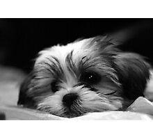 Shitzu/Maltese Mix Puppy Photographic Print