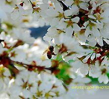 weeping cherry blossom by PJS15204