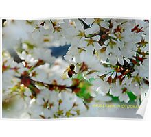 weeping cherry blossom Poster