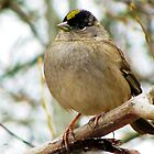 Golden-Crowned Sparrow by Chuck Gardner