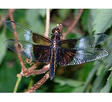 Beautiful Blue Widow Skimmer. Photographic Print