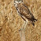 Burrowing Owl by Kimberly Palmer