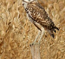 Burrowing Owl by Kimberly Palmer
