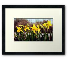 Narcissus Flowers Framed Print