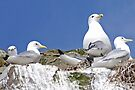 Black-legged Kittiwake by Graeme  Hyde