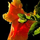 Hibiscus in the Light by Rosalie Scanlon