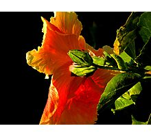 Hibiscus in the Light Photographic Print