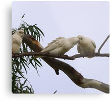 ''JUST A LITTLE KISS!' Little Corella's, Mannum Sth. Australia. Metal Print