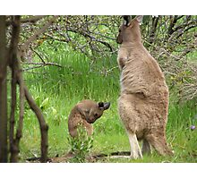 GROOMING LESSONS! for a Joey 'Arilka' Mount Pleasant, S.A. Photographic Print