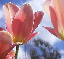 Pink Tulips Bloom In Canberra by selenasmith