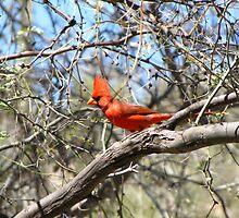 Northern Cardinal ~ Male by Kimberly Chadwick
