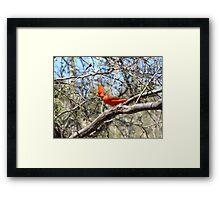 Northern Cardinal ~ Male Framed Print