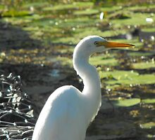 White Egret by Dave Storey