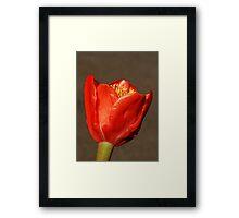 Paint Brush Lily (Haemanthus Coccineus) Framed Print
