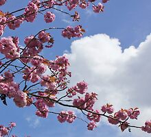 Cherry Blossoms, fluffy cloud background by Rod Raglin