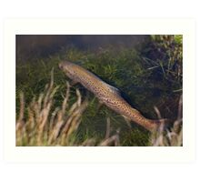 Brown Trout Ambush Art Print