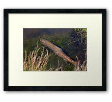 Brown Trout Ambush Framed Print