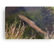 Brown Trout Ambush Metal Print