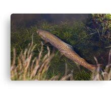 Brown Trout Ambush Canvas Print