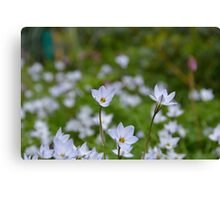 Spring Starflower Canvas Print