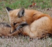 Young Red Fox in Algonquin Park, ON, Canada by Gerda Grice
