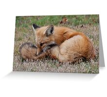 Young Red Fox in Algonquin Park, ON, Canada Greeting Card