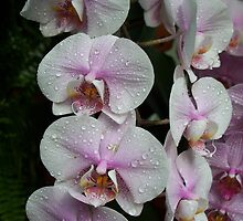 orchids by msiniardphotos