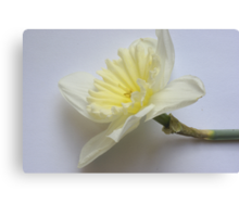 A single daffodil Canvas Print